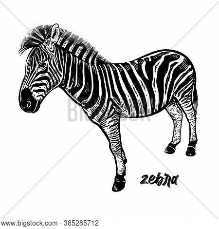 Zebra. Animals Of Africa Series. Vintage Engraving Style. Vector Art Illustration. Black Graphic Iso