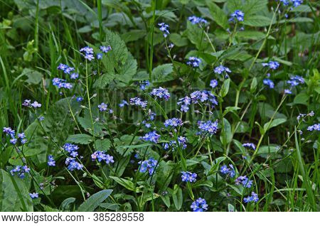 Blue Forget Me Not Flowers Blooming On Green Background