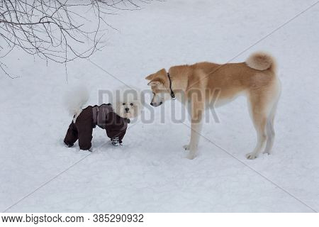 Cute Akita Inu Puppy And Bichon Frise Puppy In Pet Clothing Are Standing On A White Snow In The Wint