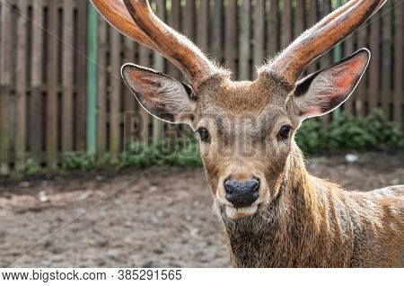 Close-up Of Cute Deer's Head With Antlers