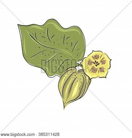 Set Physalis Superfoods Fruit. Vector Illustration, Berries. Hand Drawing And Flat.