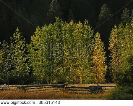 Aspen Trees In The Fall In Washington
