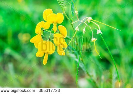 Faboideae Or Fabaceae, Rural Yellow Flower On Blurred Green Nature Background