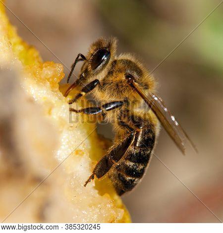 Detail Of Bee Or Honeybee In Latin Apis Mellifera, European Or Western Honey Bee