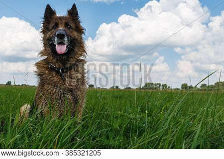 German Shepherd Dog. The Dog Sits In Green Grass Against A Blue Sky With Clouds.