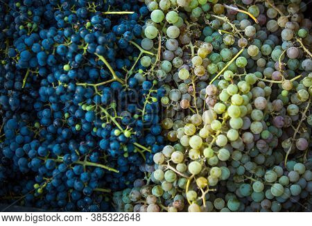 Grape Harvest. Bunches Of Dark And Light Freshly Harvested Grapes. Autumn Is The Time For Grape Harv