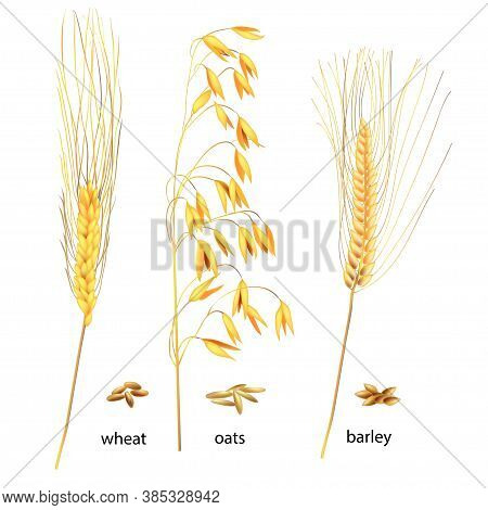Realistic Vector Illustration Of Ripe Ears And Grains. Isolated Image Of Wheat, Oats And Barley. Dra