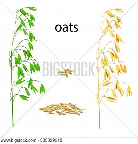 Realistic Vector Illustration Of Ripe And Green Ears. Isolated Image Of Oat Grains. Drawing Of Edibl