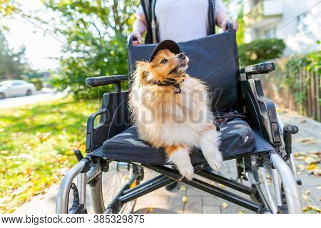 A Cute Dog Is Being Driven Around By An Old Lady In A Wheelchair