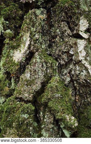 Moss-covered Bark Of Birch Tree. Close-up Vertical Photo. The Trunk Of Old Birch With Clumsy, Segmen