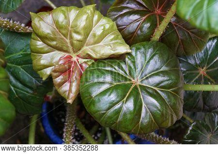 Shiny Green Leaves Of Rhizomatous Begonia Plant