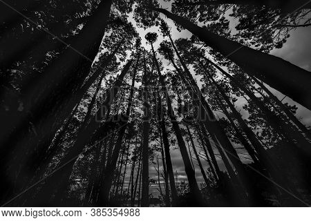 Converging tall pine trees reaching skyward monochrome image