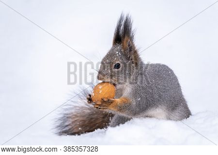 The Squirrel Sits On White Snow With Nut In Winter. Eurasian Red Squirrel, Sciurus Vulgaris. Copy Sp
