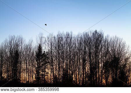 A Male Woodcock, That Makes A Courting Flight (roding) Over A Spring Forest At Dusk