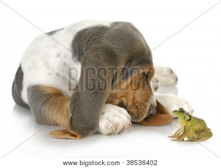 unusual friends - cute basset hound and bullfrog interacting on white background poster