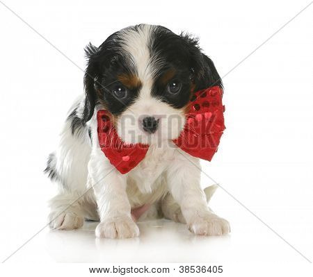 cute puppy - cavalier king charles spaniel wearing red bowtie sitting on white background