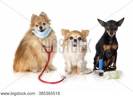Miniature Pinscher, Chihuahua And Spitz  In Front Of White Background