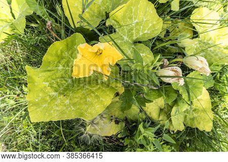Pumpkin, Bush Flowering Plant In The Summer In The Garden, Photo
