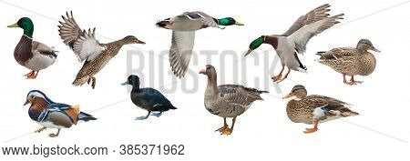 collection of ducks isolated on white background