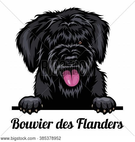 Head Bouvier Des Flanders - Dog Breed. Color Image Of A Dogs Head Isolated On A White Background