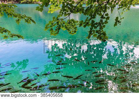 Fish In The Plitvice Lakes. Oak Branches Above The Water. Korana River, Plitvice Lakes, Croatia.