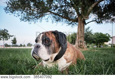 Boxer Dog Lying Calm On The Grass