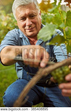 Joyful Harvester Hand-picking Grapes From A Grapevine