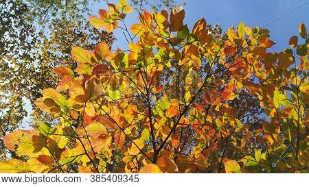 Beautiful Branches Of Autumn Elm-tree With Bright Golden Leaves Glowing In The Sunlight