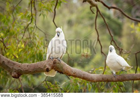 Happy Sulphur-crested Cockatoos Play On A Tree Branch In The Beautiful Australian Bush