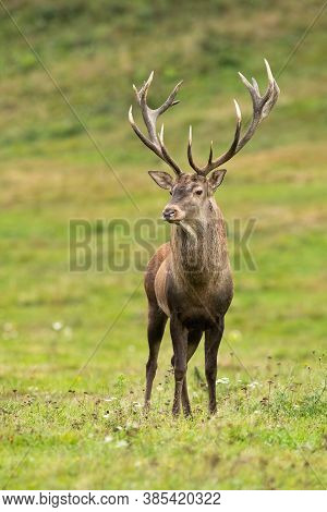Magnificent Red Deer Standing On Meadow In Nature.