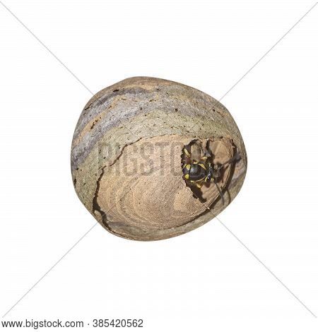 Wasp Sit On Wasps Nest. Danger Insect In Home Garden. Wasp Nest Isolated On White Background.