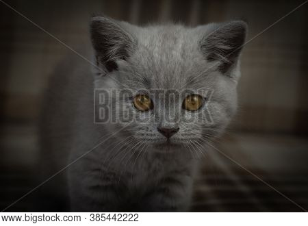 Purebred British Shorthair Cat. Portrait Of A Kitten In Dark Colors. Art Processing. Cat With Expres