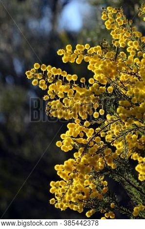Yellow Backlit Flowers Of The Australian Native Golden Top Wattle, Acacia Mariae, Family Fabaceae, M
