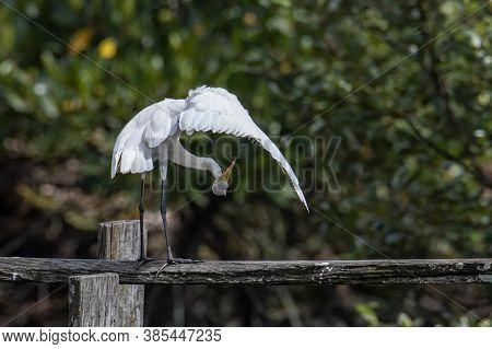 Egret Bird On Wetland Center In Kota Kinabalu, Sabah, Malaysia. Cattle Egret Bird Chilling