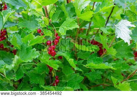 Ripe Red Currant On A Bush Close-up. Macrophotography Of Currant Berries. Cultivation Of Agricultura