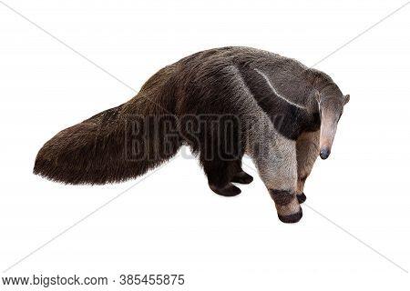 Giant Anteater Isolated On White Background. Anteater, Cute Animal From Brazil. Giant Anteater, Myrm