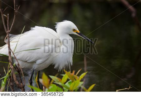 Snowy egret in Everglades National Park, Florida.