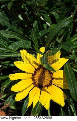 Bright Flowers Of Gazania In Garden During Flowering. Garden Photo