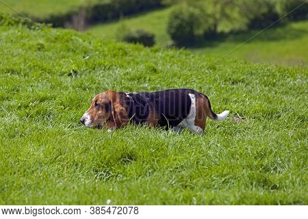 A Basset Hound Explores A Field In The South Of England