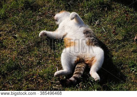 Cat Lies On His Back And Stretches His Limbs. Feline Practices Yoga And Basic Core Exercises. Warmin