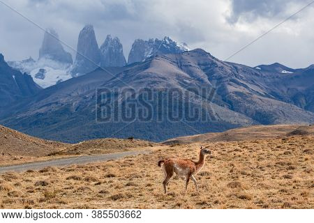 Wild Guanaco In Torres Del Paine National Park Patagonia . Chile