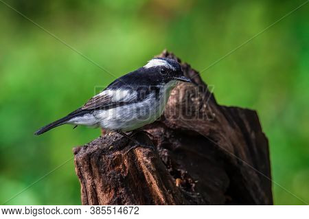 Nature Wildlife Bird Species Of Little Pied Flycatcher On Perched On A Tree Branch Found In Borneo,