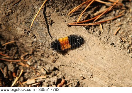 Spotted Tussock Moth (lophocampa Maculata) Caterpillar In Beartooth Mountains, Montana