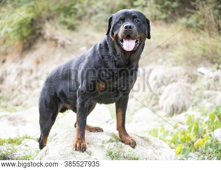 Purebred Rottweiler Walking In The Nature In Autumn