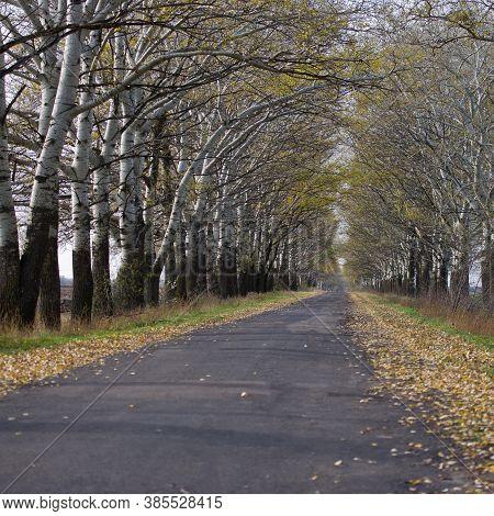 Asphalt Road Between Aspen Trees. Autumn Season. Ukraine. Europe.