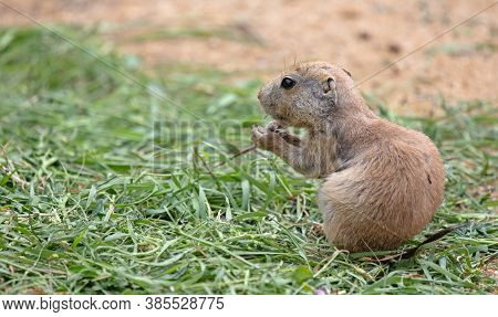 Young Prairie Dog Eating Grass, Selective Focus