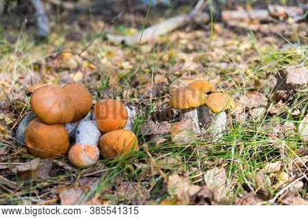 Beautiful Natural Landscape With Fresh Autumn Aspen Mushrooms Growing And Lying On The Ground Among