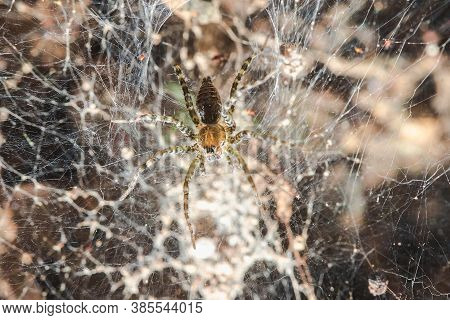 Hippasa Holmerae On The Hollow Cobweb,