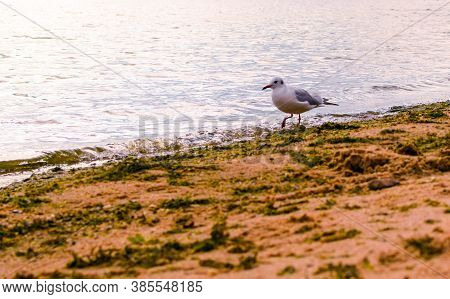 One Seagull On The Sea Sand. Seagull On The City Beach.