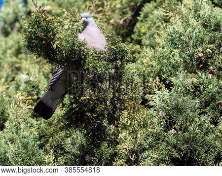 Domestic Pigeon.